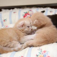 ペット/猫/子猫 ナナとギン。 まだよちよち歩きの赤ニャン…(1枚目)