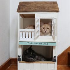 ペット/猫/DIY/小屋/キャットハウス/メインクーン キャットハウス(小)の1階にリオウ、2階…
