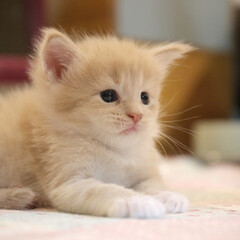 ペット/猫/子猫/メインクーン 生後1ヶ月くらいのギン。 ほわほわ〜♪ …