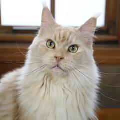 ペット/猫/メインクーン/マグ キリッとカメラ目線のマグ。 ほんわかカラ…