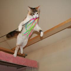 ペット/猫/メインクーン お気に入りのおもちゃをくわえてジャンプす…