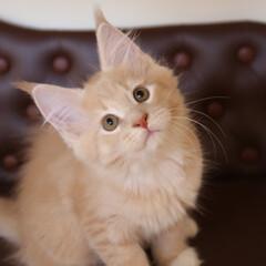 ペット/猫/メインクーン/うちの子自慢 生後71日、ギン。  お目目まんまるにし…