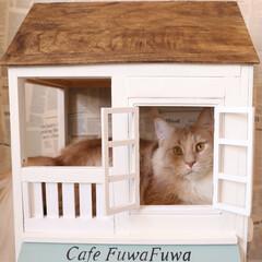 ペット/猫/キャットハウス/DIY/小屋/窓/... 手作りキャットハウスでくつろいでいるギン…