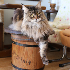 ペット/猫/メインクーン/リメイク/コーヒー樽 コーヒー樽をリメイクしたテーブルで腕だら…