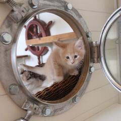 ペット/猫/子猫/メインクーン/船窓/丸窓 生後53日、船窓が気になるギン。  この…