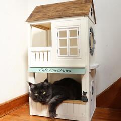 ペット/猫/メインクーン/DIY/キャットハウス 手作りキャットハウス(小)でくつろいでい…