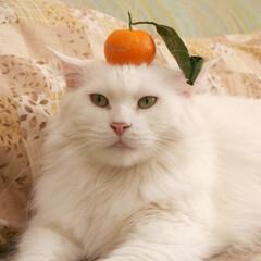 ペット/猫/メインクーン 鏡餅のふりしたアリス。  まっしろアリス…