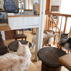 ペット/猫/DIY/キャットハウス/猫カフェ/メインクーン/... 大きい方の手作りキャットハウスの横は猫カ…
