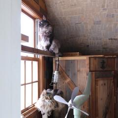 ペット/猫/DIY/メインクーン/キャットウォーク 窓辺の手作りキャットウォークから外を見て…(1枚目)
