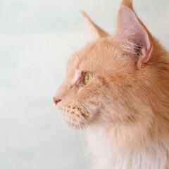 ペット/猫/メインクーン/壁紙/ペンキ ギンの横顔♪  背景の壁紙は、ざっくりと…