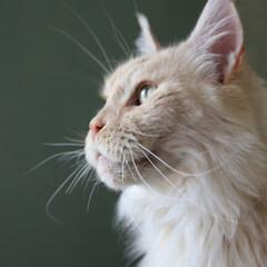 ペット/猫/メインクーン/壁紙/ペンキ ヒゲが長〜いマグ。 まゆげも長いです。 …