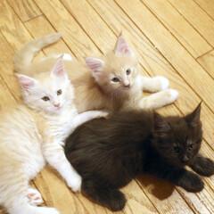 ペット/猫/子猫/メインクーン/兄弟猫 生後54日、左からナナ、ギン、リオウ。 …