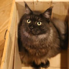 ペット/猫/メインクーン 木箱でおすまししているリオウ。  木箱に…(1枚目)