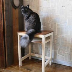 DIY/机/テーブル/学校机/猫/メインクーン/... 見返りリオウ。 リオウは毛先が黒くて毛の…