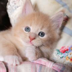 ペット/猫/子猫/メインクーン 生後1ヶ月と5日、ギン。  手先がちょっ…