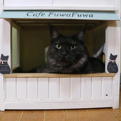 ペット/猫/キャットハウス/カフェ風/猫ベッド/DIY/... 手作りキャットハウスに入り浸りのリオウ。…