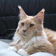 ペット/猫/メインクーン/まゆげ 長いおひげがチャームポイントのギン。 ま…(1枚目)