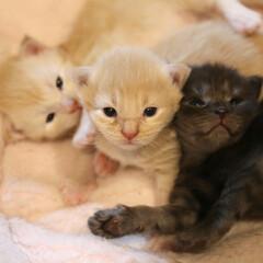 ペット/猫/子猫 リンゴが生んだ3匹の子猫たち。リンゴ3兄…