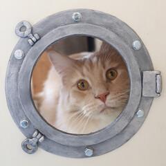 ペット/猫/DIY/船窓/丸窓/メインクーン/... 船窓から顔をのぞかせているギン。 船窓は…