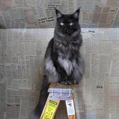 ペット/猫/英字新聞/セルフリノベ/セルフリフォーム/メインクーン/... 背景の英字新聞の壁は、本物の英字新聞を貼…