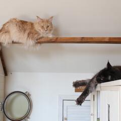 ペット/猫/キャットウォーク/メインクーン 手作りキャットウォークでくつろぐギンとケ…