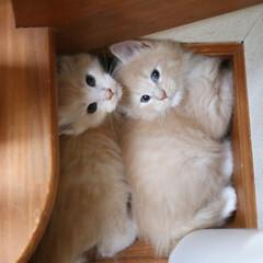 ペット/猫/子猫/メインクーン 生後43日、左ナナ、右リオウ。 ナナとリ…(1枚目)