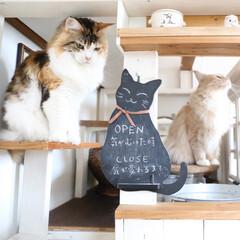 ペット/猫/メインクーン/DIY/キャットハウス/小屋/... 猫カフェのステップでおすわりしている花ち…