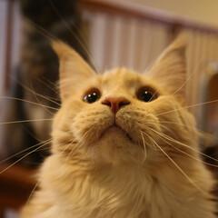 ペット/猫/メインクーン 真剣な顔のギン。  視線の先には猫じゃら…