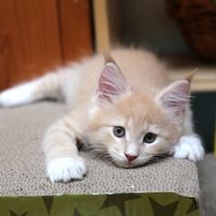 ペット/猫/子猫/メインクーン 生後59日、ギン。  遊び疲れてだらーん…