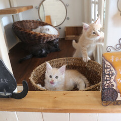 ペット/猫/子猫 生後53日、手前からナナ、ギン、リオウ。…(1枚目)