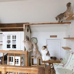 ペット/猫/メインクーン/キャットハウス/キャットタワー/キャットウォーク/... 猫の遊び場で遊んでいる猫たち。  左から…