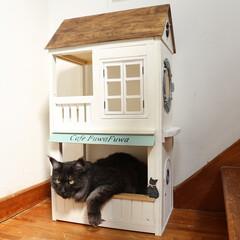 ペット/猫/DIY/キャットハウス/メインクーン/うちの子ベストショット 手作りキャットハウスの1階から顔を出して…