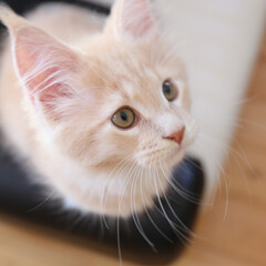 ペット/猫/メインクーン/うちの子自慢 生後71日、ギン。  ヒゲが長くなってき…