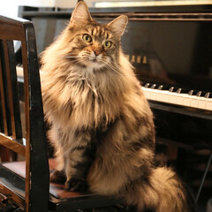 ペット/猫/ピアノ/メインクーン ピアノを弾こうと思うと、ピアノの椅子にキ…