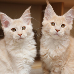ペット/猫/メインクーン/兄弟猫/うちの子自慢 生後88日、ナナ(左)、ギン(右)  ほ…