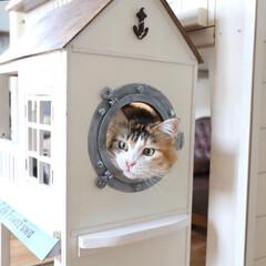ペット/猫/DIY/キャットハウス/小屋/メインクーン/... 手作りキャットハウスの船窓から顔を出す花…