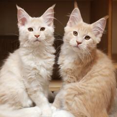 ペット/猫/メインクーン/兄弟猫 ギン(右)子猫時代の写真です。 一緒に生…