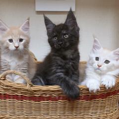 ペット/猫/兄弟猫/メインクーン/うちの子自慢 生後63日、左からギン、リオウ、ナナ。 …
