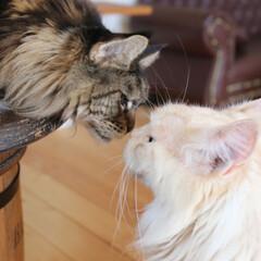 ペット/猫/仲良し/鼻チュー チョコレート色のキャンディとミルクティー…
