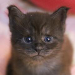 ペット/猫/子猫/キトンブルー/メインクーン 子猫リオウ。 お耳が立ちました! でも目…