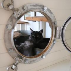 ペット/猫/メインクーン/丸窓/船窓/DIY DIYした船窓の小屋でのんびりしているリ…