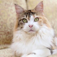 ペット/猫/メインクーン/三毛猫 花ちゃん、14歳。  ちょっぴりつり上が…