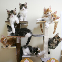 ペット/猫/子猫/メインクーン/キャットタワー/DIY/... キャンディ成長記録18 生後58日。  …