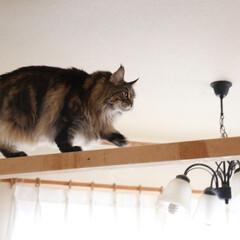 ペット/猫/メインクーン/キャットウォーク/うちの子ベストショット 手作りキャットウォークをテテテッと早歩き…