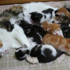 ペット/猫/メインクーン/子猫/兄弟猫/猫家族 キャンディ成長記録3  生後20日。 花…