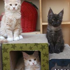 ペット/猫/メインクーン/兄弟猫/うちの子自慢 生後84日、ギン(左上)、ナナ(下)、リ…