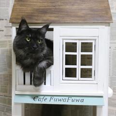 ペット/猫/DIY/小屋/キャットハウス/メインクーン/... 手作りキャットハウスの窓から顔を出すリオ…