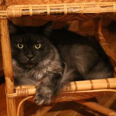 ペット/猫/メインクーン/カゴ/猫ベッド カゴベッドでくつろいでいるリオウ。  こ…