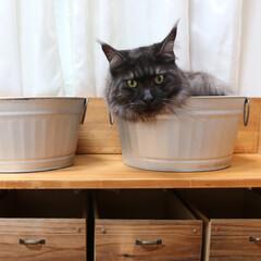 猫派/ペット/猫/メインクーン バケツにリオウ。  小さなバケツは猫たち…