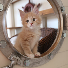 ペット/猫/子猫/メインクーン/船窓/丸窓 生後53日、ギン。  船窓から顔を出して…